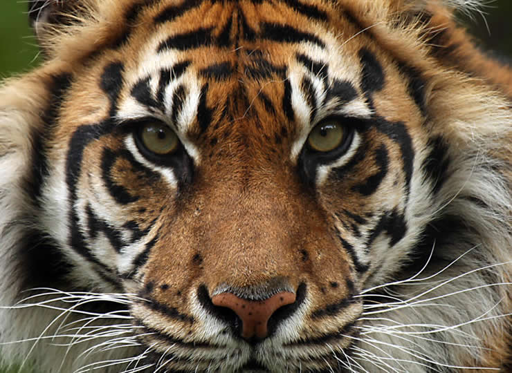 インドネシア産 獰猛な野獣「タイガーマウンテン」